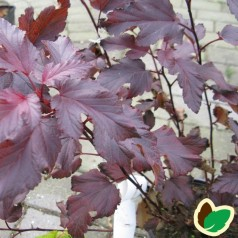 Physocarpus opulifolius Andre - Blærespiræa