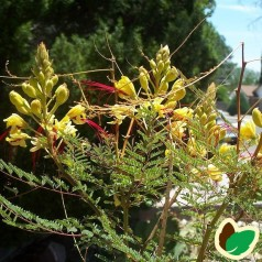 Caesalpinia gilliesii  / Bird of Paradise