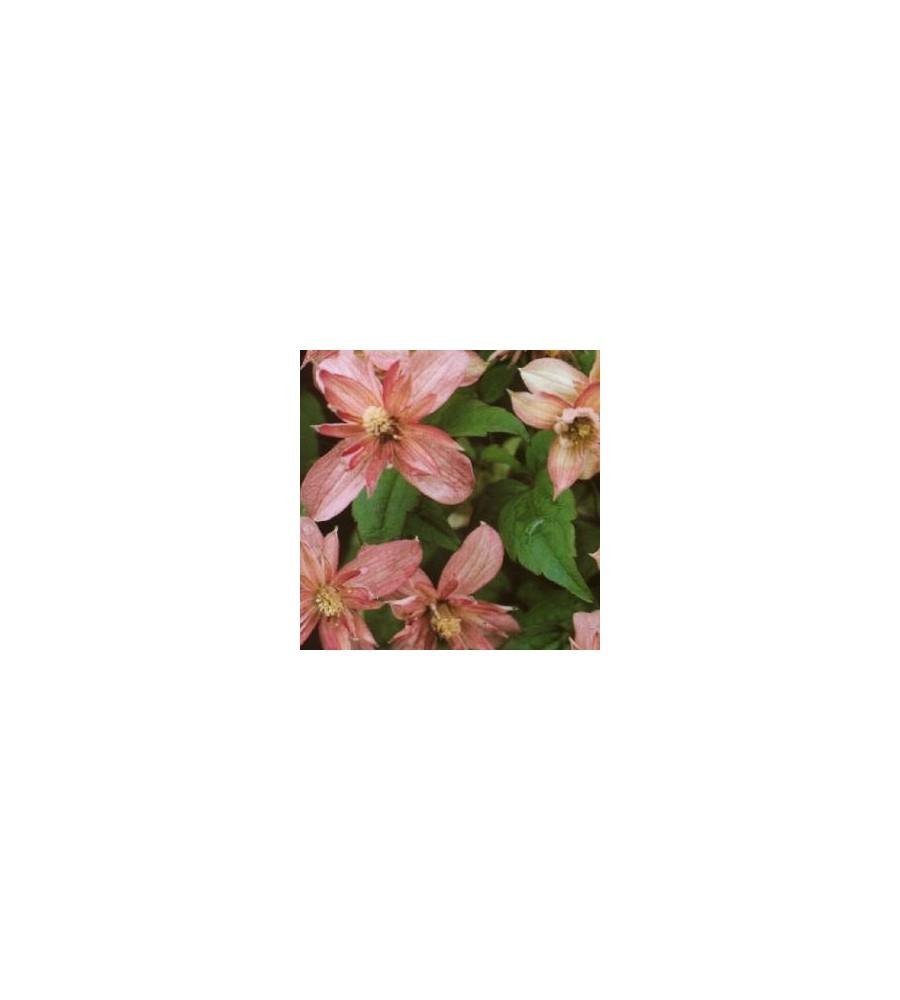 Clematis montana Marjorie / Klematis