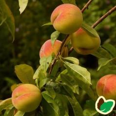 Ferskentræ Frutteria