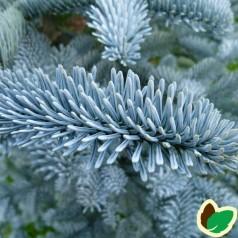 Abies procera Glauca - Sølvgran / 30-40 cm.