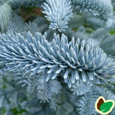 Sølvgran - Abies procera Glauca