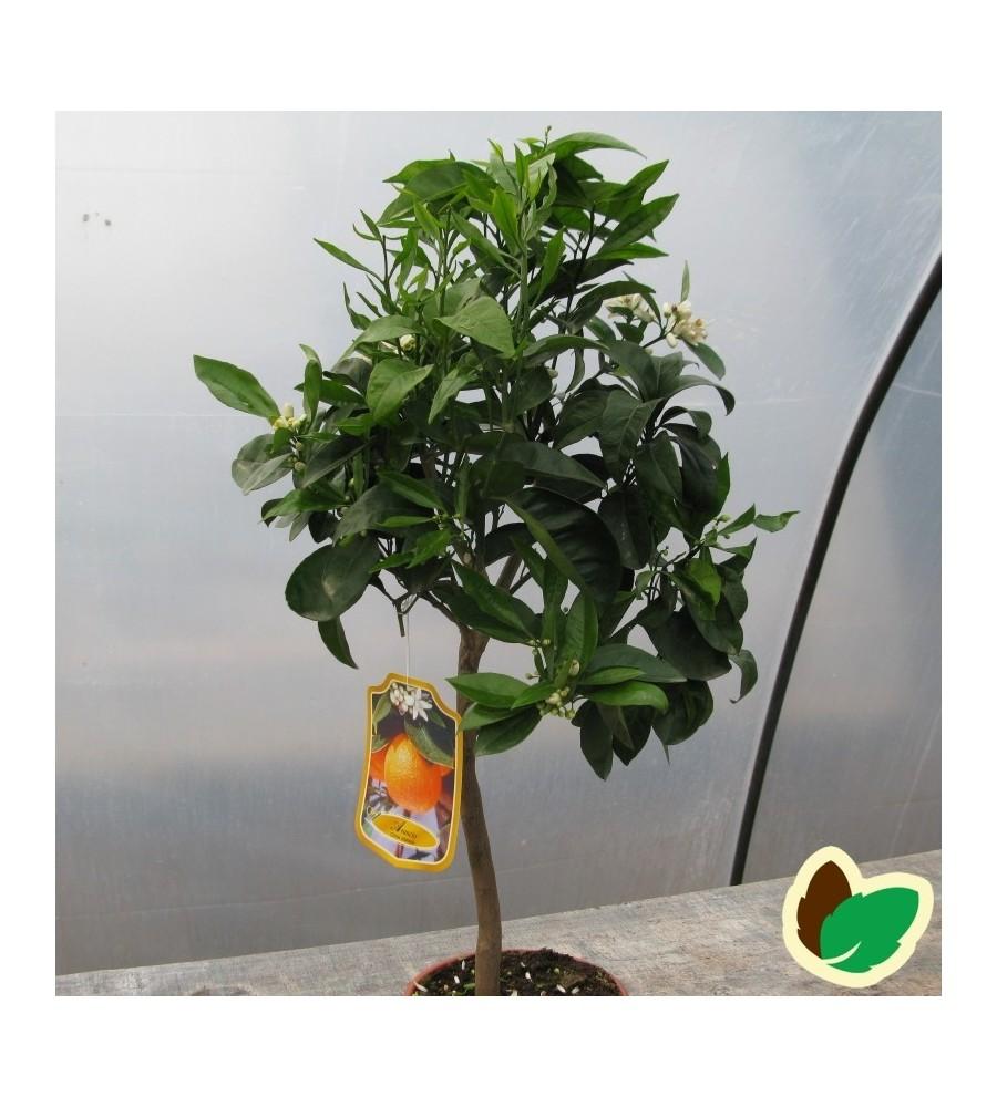 Appelsintræ - Citrusplante