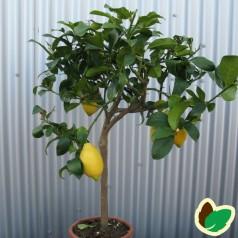 Citrontræ - Citrusplanter