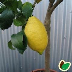 Citronfrugt - Citrontræ