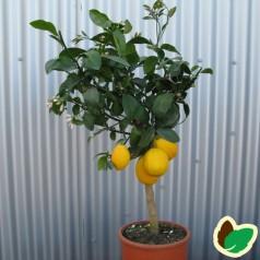 Citrontræ - Mayer