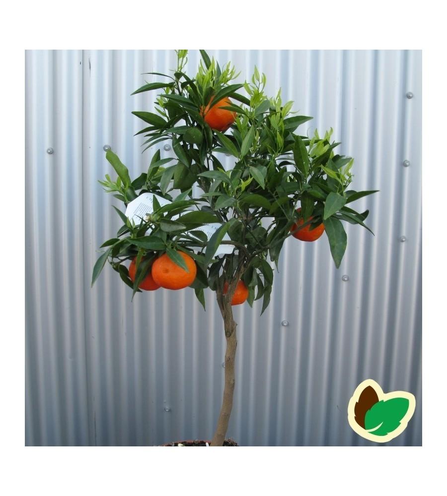 Klementin træ - Citrusplanter