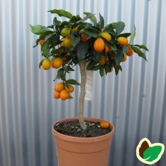 Kumquat - Citrusplanter