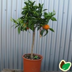 Mandarintræ - Citrusfrugter
