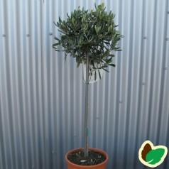 Oliventræer - Olea europaea