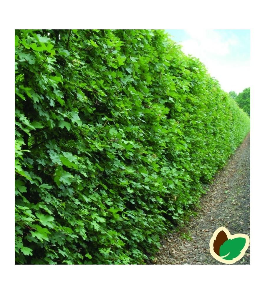 Navr 50-80 cm. - Bundt med 10 stk. barrodsplanter - Acer campestre
