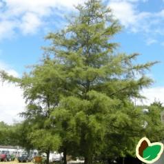 Alnus glutinosa Imperialis - Fligbladet Rødel / Træ 200-250 cm. i potte