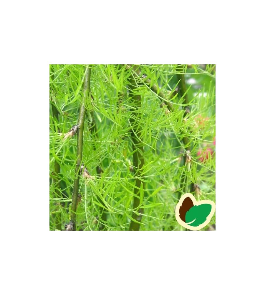 Caragana arborescens Walker - Fligetbladet Ærtetræ / 80 cm. stamme