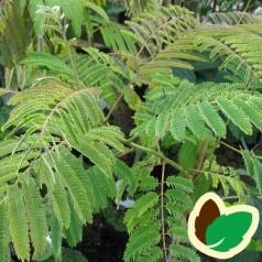 Albizia julibrissin Rosea / Persisk Silketræ