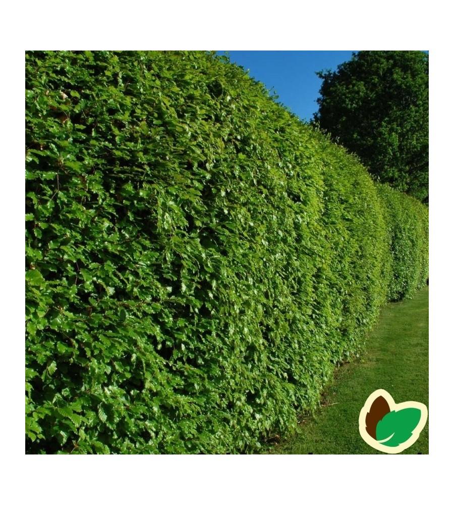 Bøg 30-50 cm. - Bundt med 10 stk. barrodsplanter - Fagus sylvatica
