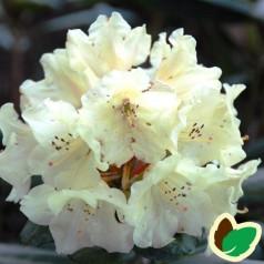 Rhododendron yakushimanum Bohlkens Laura