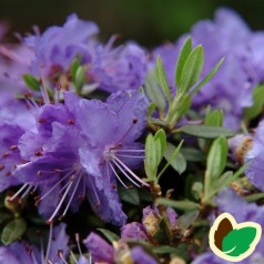 Dværg Rhododendron Ronny