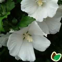 Hibiscus syriacus Diana / Syrisk Rose
