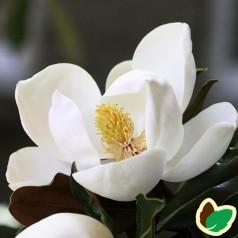 Magnolia grandiflora Little Gem - Storblomstret magnolie