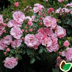 Rose Bonica / Buketrose