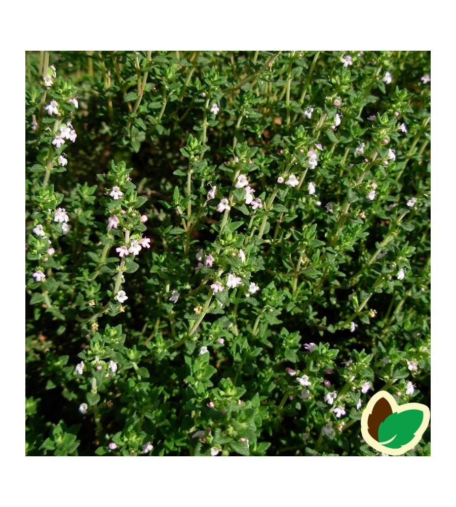 Thymus vulgaris Compactus / Timian