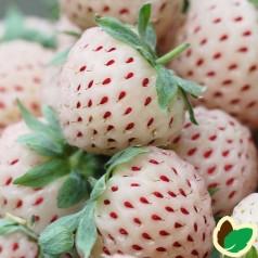 Jordbærplante PineBerry - Hvide jordbær