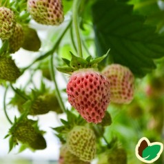 Jordbærplante Bubble berry - Tyggegummi smag
