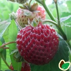 Jordbærplante Framberry - Jordbær/Hindbær smag