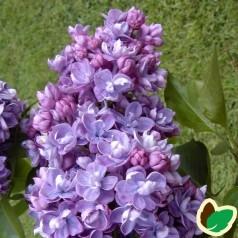 Syringa vulgaris Norrfjärden / Storblomstret Syren