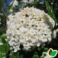Viburnum carlesii Juddii - Snebollebusk