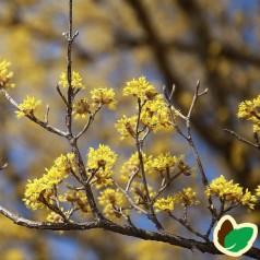 Kirsebærkornel Jolico - Cornus mas Jolico