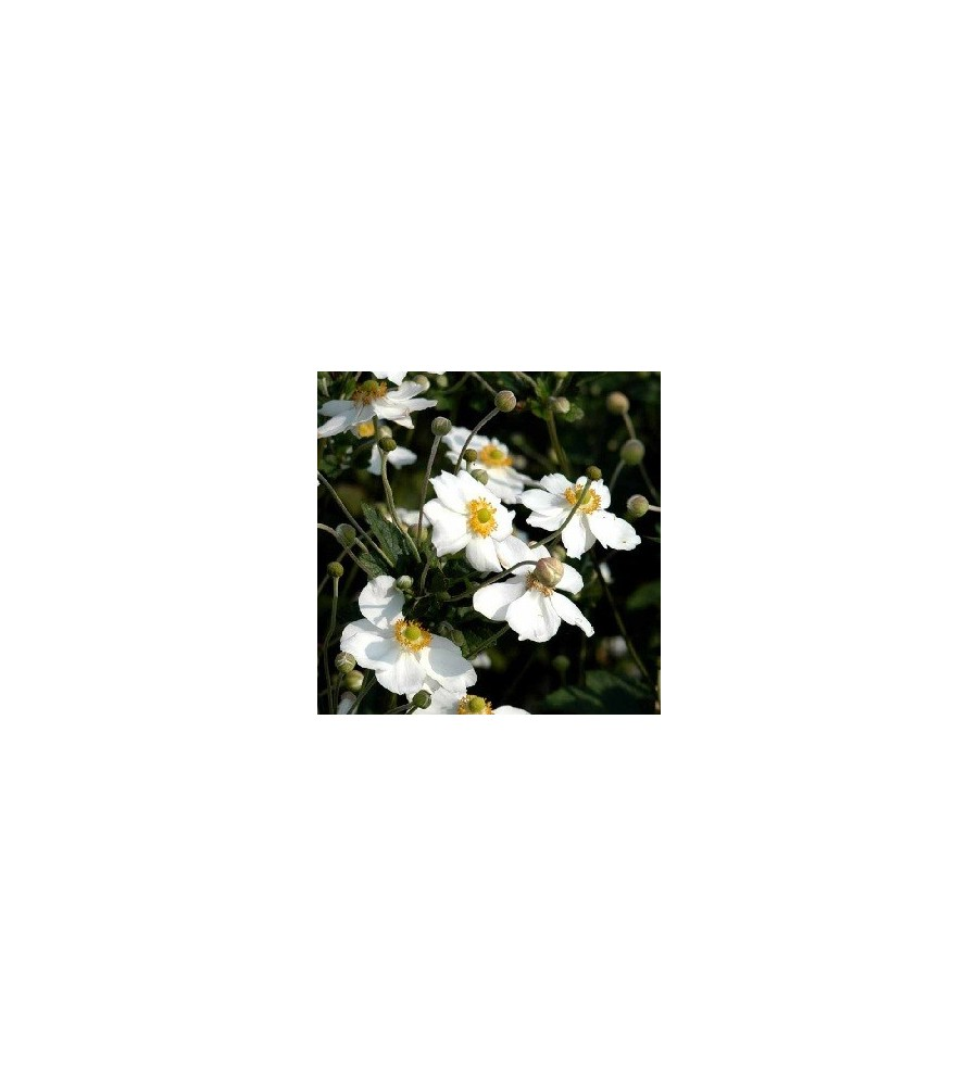 Anemone japonica Honorine Jobert / Høstanemone