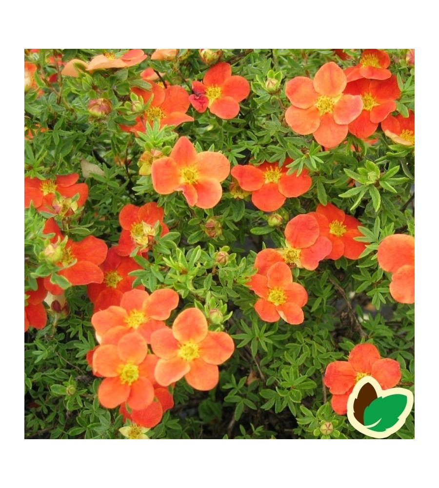 Potentilla fruticosa Red Robin - Potentil