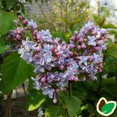 Syringa vulgaris Carpe Diem / Storblomstret Syren