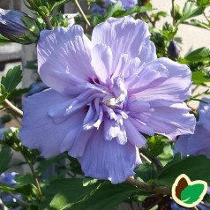 Hibiscus syriacus Blue Chiffon / Syrisk Rose