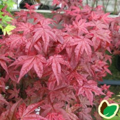 Acer palmatum Beni-maiko / Japansk Løn / Japansk Ahorn