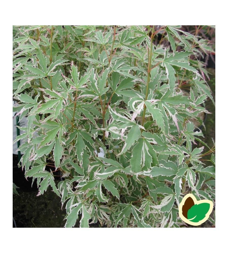Acer Palmatum Butterfly / Japansk Løn / Japansk Ahorn