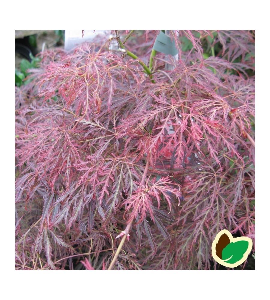 Acer Palmatum Ornatum / Japansk Løn / Japansk Ahorn