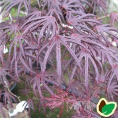 Acer palmatum Trompenburg / Japansk løn / Japansk Ahorn