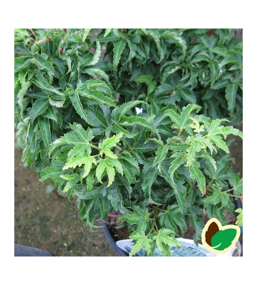Acer palmatum Shishigashira / Japansk Løn / Japansk Ahorn
