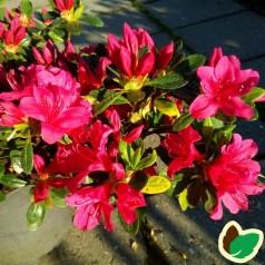 Rhododendron Geisha Red - Japansk Azalea
