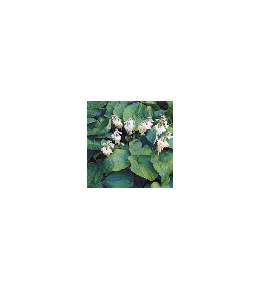 Hosta hybrid Royal Standard / Funkia