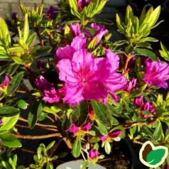 Rhododendron Königstein - Japansk Azalea