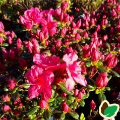 Rhododendron Purpurkissen / Japansk Azalea