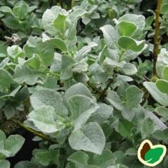 Salix lanata - Uldpil