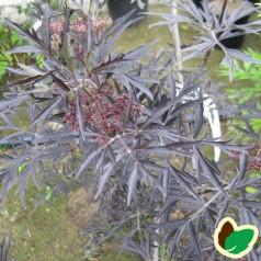 Sambucus nigra Black Lace - Rødfliget Hyld