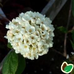 Viburnum carlcephalum - Velduftende Snebolle