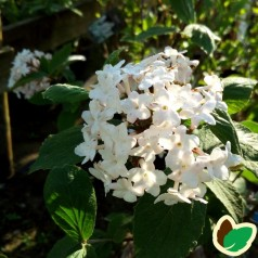 Viburnum x Juddii - Snebollebusk