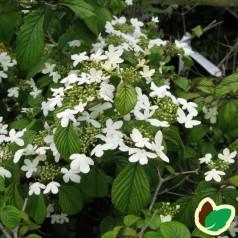 Viburnum plicatum Watanabe / Japansk Snebolle