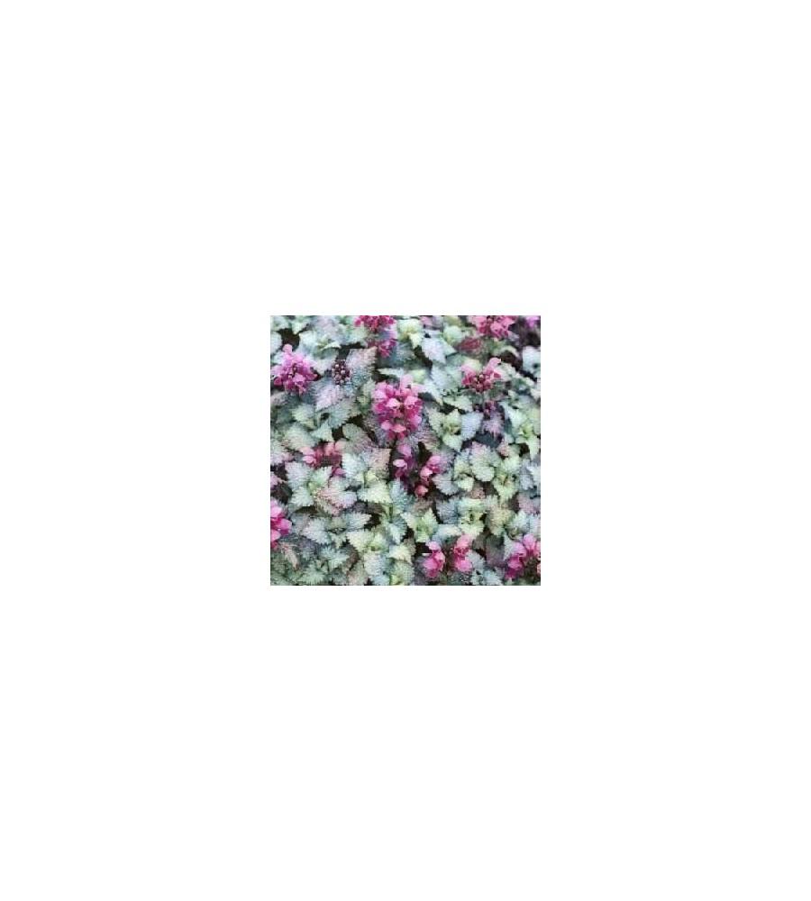 Lamium maculatum Silbergroschen / Plettet Tvetand